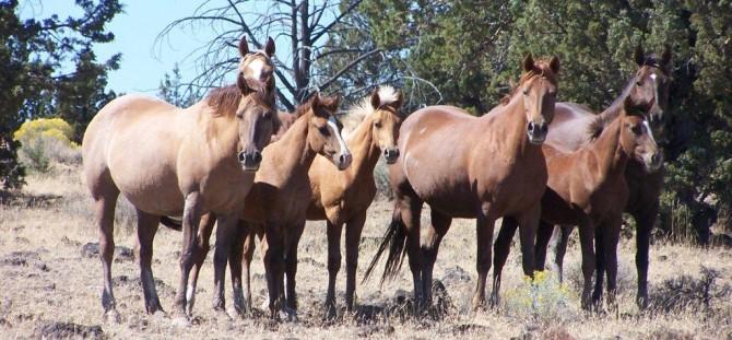 Wild Mustang Herd